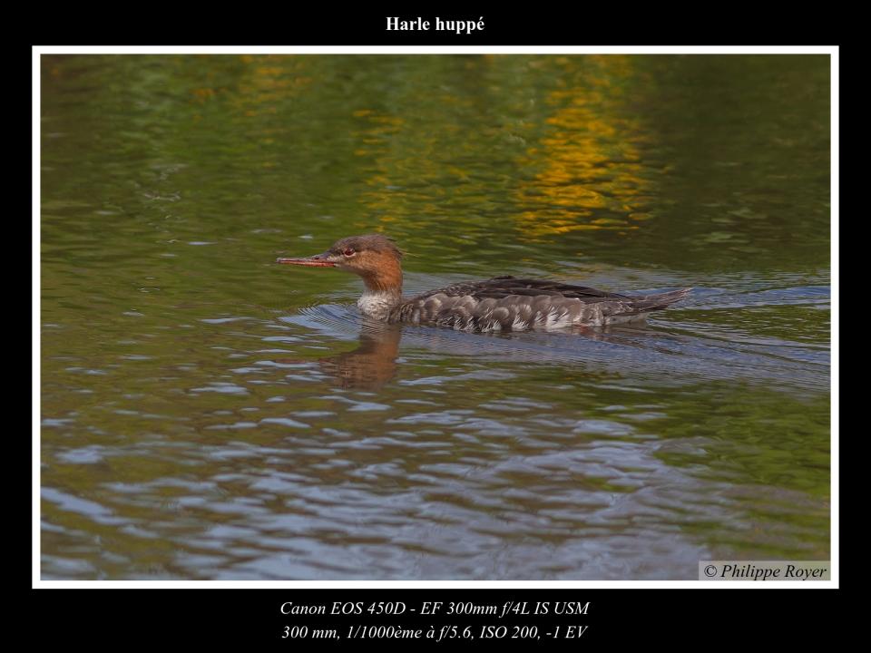 wpid5515-Harle-huppe_MG_1769_web.jpg