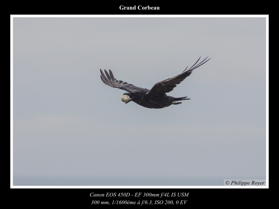 wpid5560-Grand-corbeau_MG_2306_web.jpg