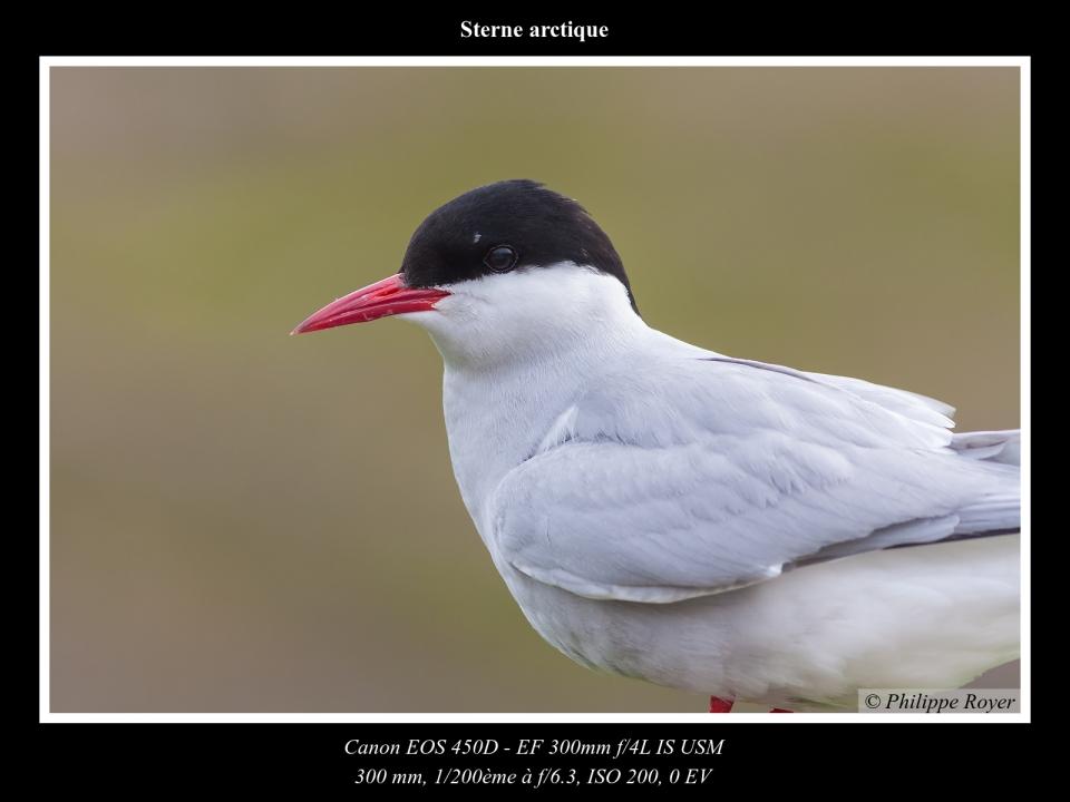 wpid5570-Sterne-arctique_MG_2396_web.jpg