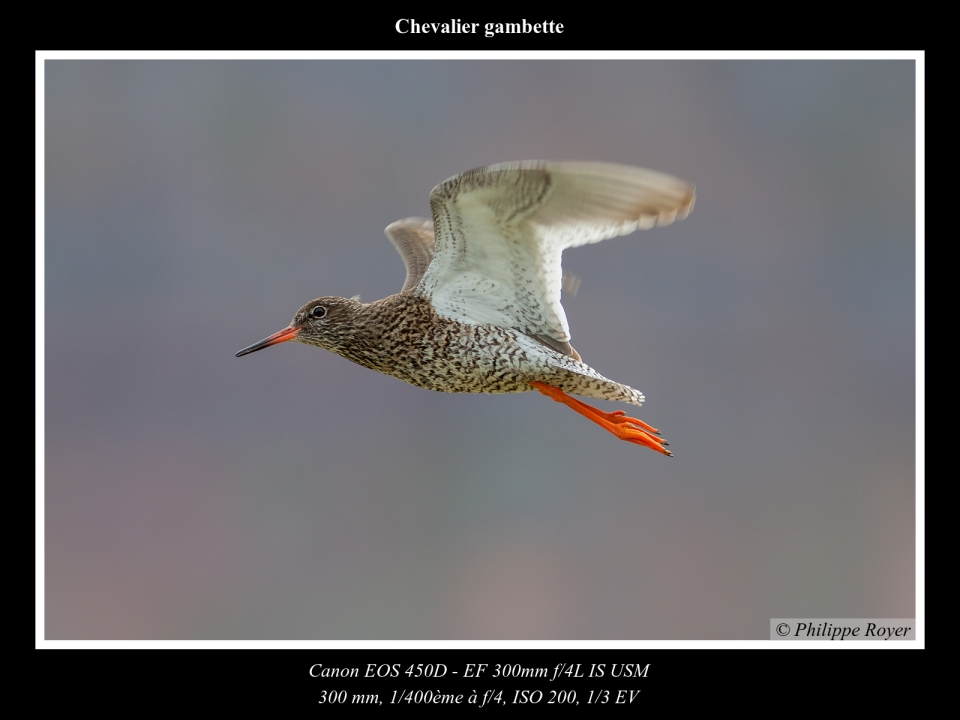 wpid5591-Chevalier-gambette_MG_2430_web.jpg