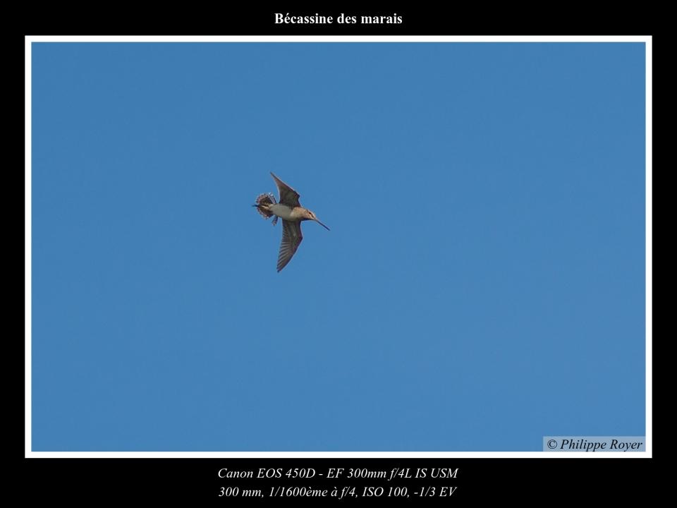 wpid5708-Becassine-des-marais_MG_2610_web.jpg