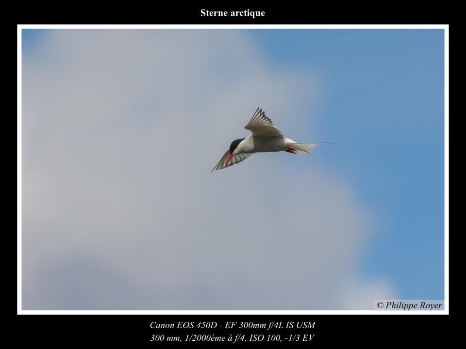 wpid5710-Sterne-arctique_MG_2614_web.jpg