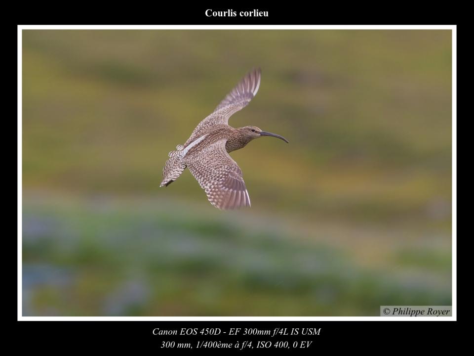 wpid5741-Courlis-corlieu_MG_2702_web.jpg