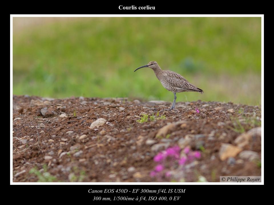 wpid5746-Courlis-corlieu_MG_2728_web.jpg