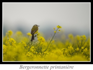 wpid5887-lien_bergeronnette_printaniere.jpg