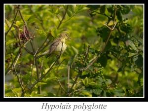wpid5894-lien_hypolais-polyglotte.jpg