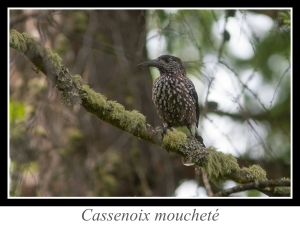 lien_cassenoix-moucheté.jpg
