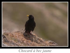 lien_chocard-a-bec-jaune.jpg