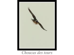 lien_choucas-des-tours.jpg