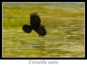 lien_corneille-noire.jpg