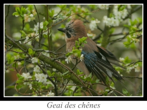 lien_geai-des-chenes.jpg