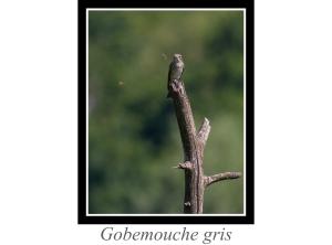 lien_gobemouche-gris.jpg
