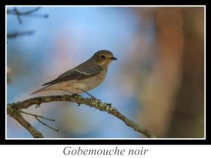 lien_gobemouche-noir.jpg