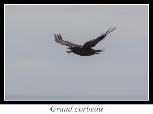 lien_grand-corbeau.jpg