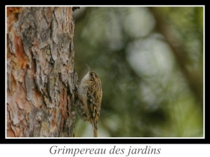 lien_grimpereau-des-jardins.jpg