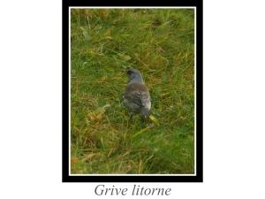 lien_grive-litorne.jpg