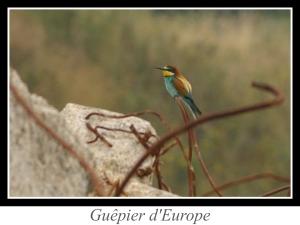 lien_guepier-d-europe.jpg