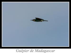 lien_guepier-de-madagascar.jpg