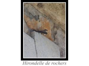 lien_hirondelle-de-rochers.jpg