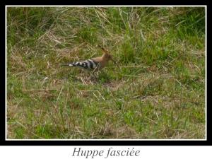 lien_huppe-fasciee.jpg