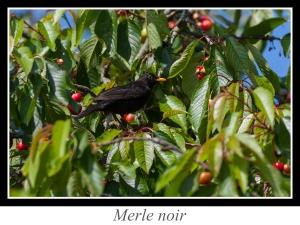 lien_merle-noir.jpg