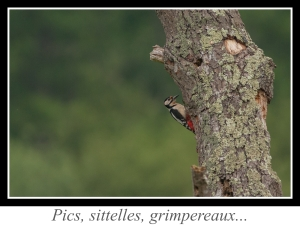lien_pics-sittelles-grimpereaux.jpg