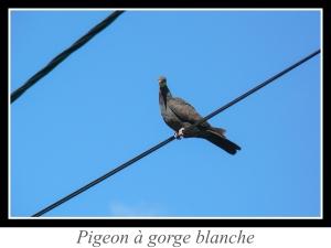 lien_pigeon-a-gorge-blanche.jpg