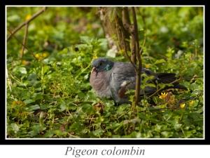 lien_pigeon-colombin.jpg