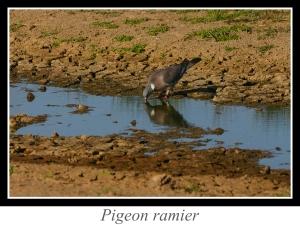lien_pigeon-ramier.jpg