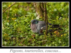 lien_pigeons-tourterelles-coucous.jpg