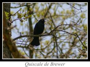 lien_quiscale-de-brewer.jpg
