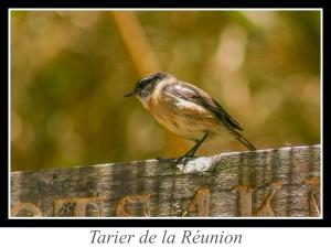 lien_tarier-de-la-reunion.jpg