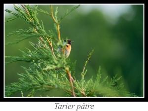 lien_tarier-patre.jpg