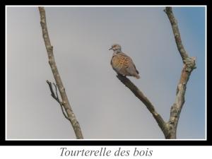 lien_tourterelle-des-bois.jpg