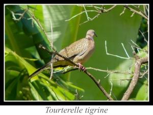 lien_tourterelle-tigrine.jpg