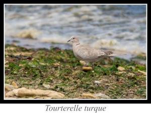 lien_tourterelle-turque.jpg