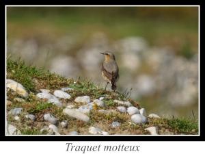 lien_traquet-motteux.jpg
