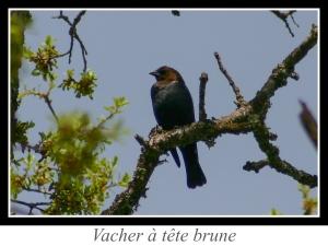 lien_vacher-a-tete-brune.jpg
