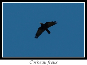 lien_corbeau-freux.jpg