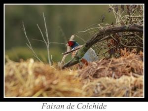 lien_faisan-de-colchide.jpg