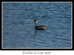 lien_grebe-a-cou-noir.jpg