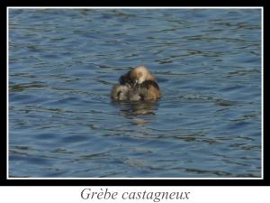 lien_grebe-castagneux.jpg