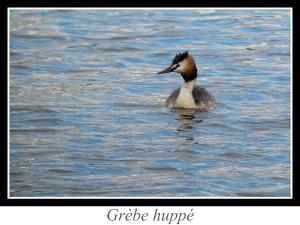 lien_grebe-huppe.jpg