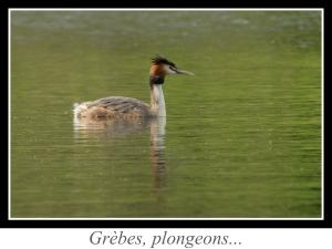 lien_grebes-plongeons.jpg