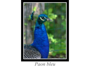lien_paon-bleu.jpg