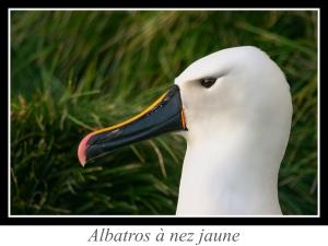 lien_albatros-a-nez-jaune.jpg