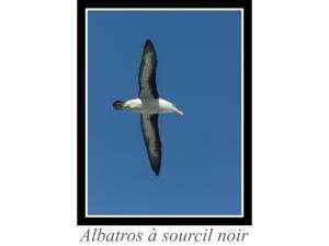 lien_albatros-a-sourcil-noir.jpg