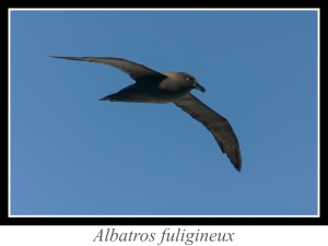 lien_albatros-fuligineux.jpg