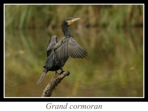 lien_grand-cormoran.jpg