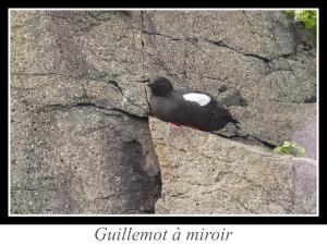 lien_guillemot-a-miroir.jpg